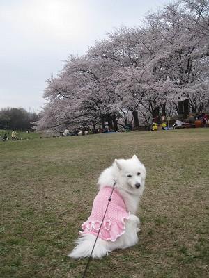 桜の服よ。