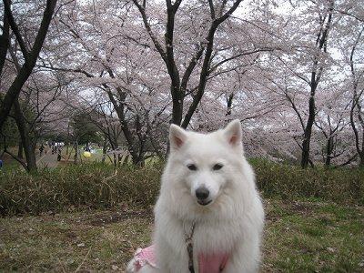 """""""桜の森の満開の下"""""""