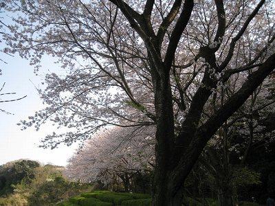 鷹取山の桜