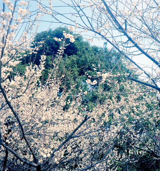 御津の、世界の梅公園