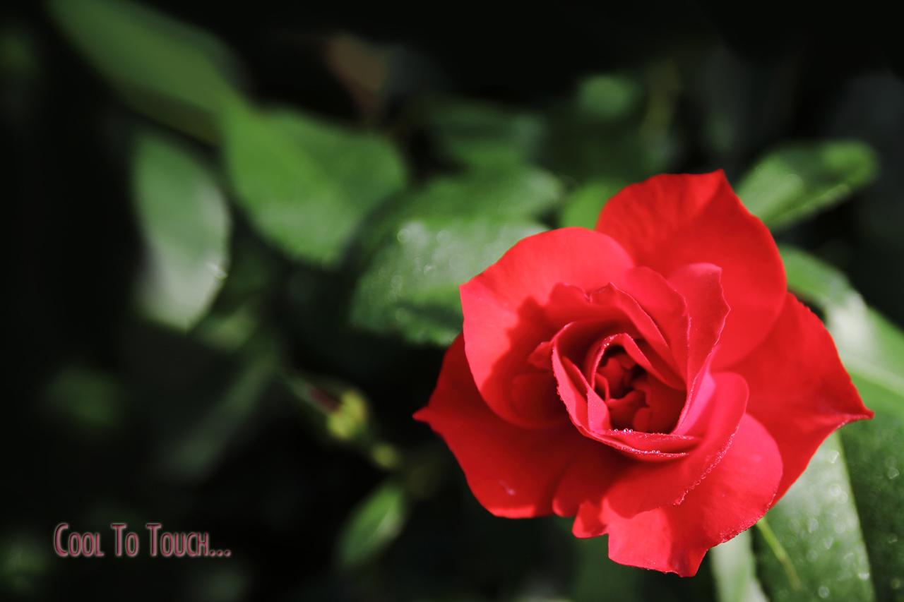 RedRose01.jpg