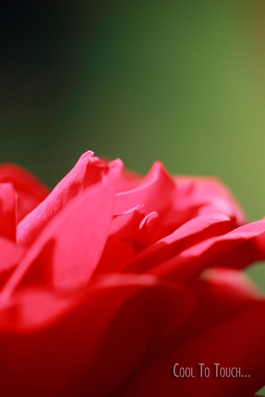 RedRose04.jpg