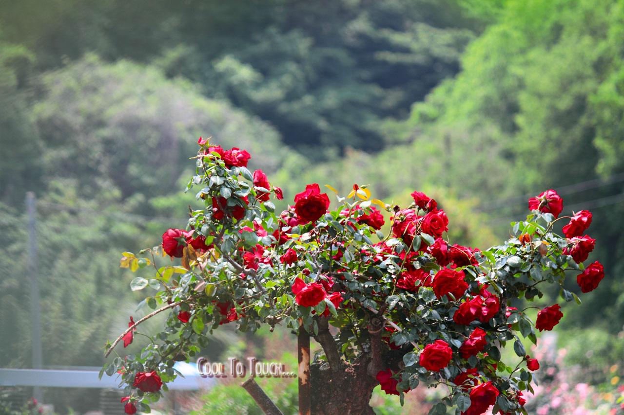 RedRose06.jpg