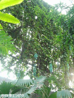 20100307 夢の島 熱帯植物館 ヒスイ?