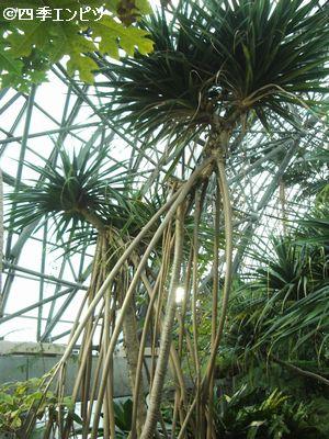 20100307 夢の島 熱帯植物館 タコの木