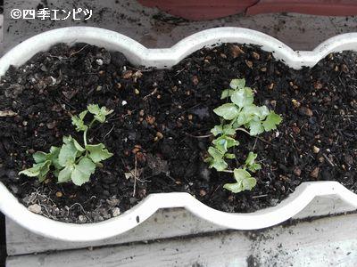 20100322 ミツバ 植え替え 仮植え
