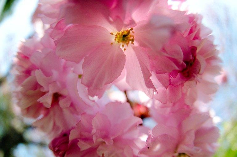 20110515-八重桜1