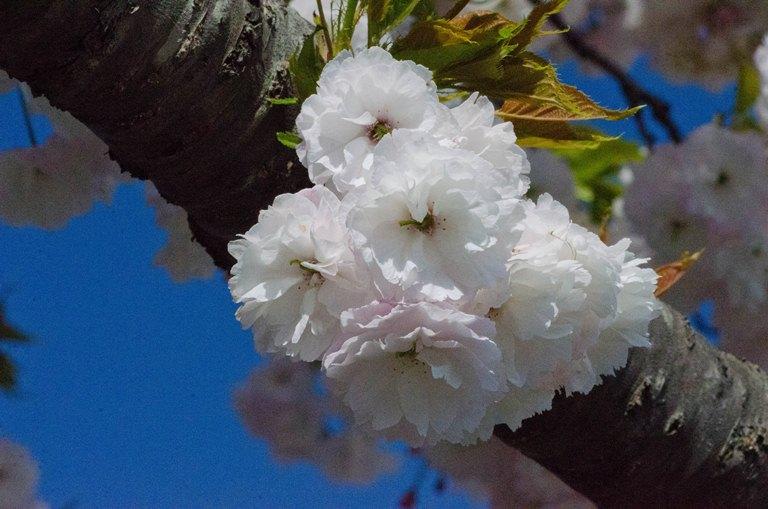 20110515-八重桜2