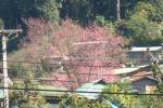ドイプイ桜。