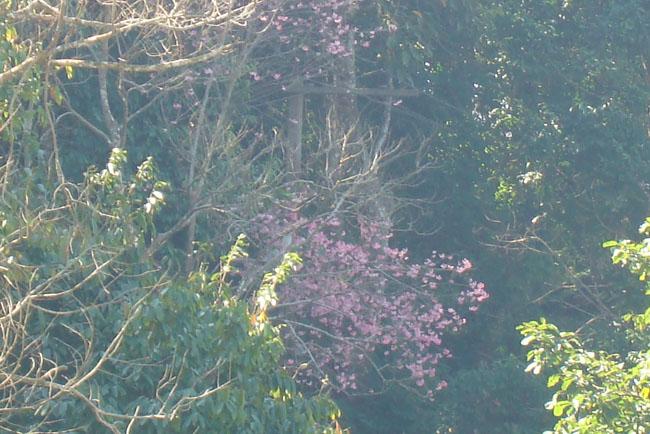 ドイプイ山桜。