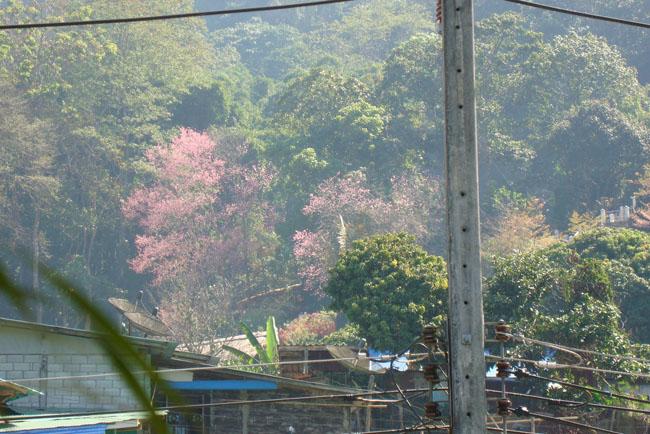 茶屋から桜を・・・