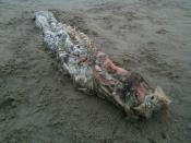 メキシコのビーチで謎の生物(UMA)の死体03