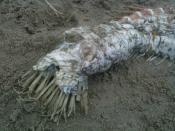 メキシコのビーチで謎の生物(UMA)の死体04