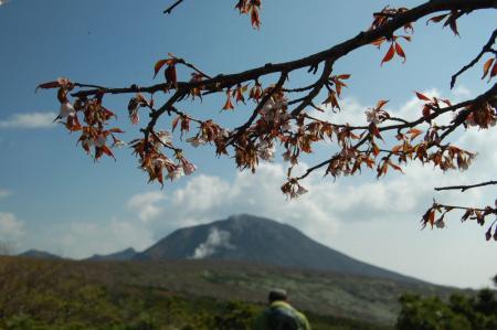 16ミネザクラと茶臼岳