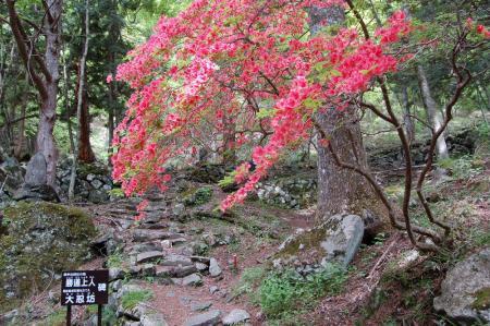 6神社跡のヤマツツジ