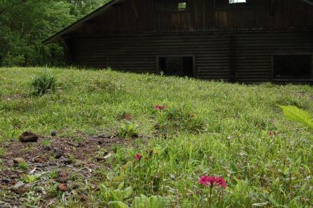 8庚申山荘裏のクリンソウ