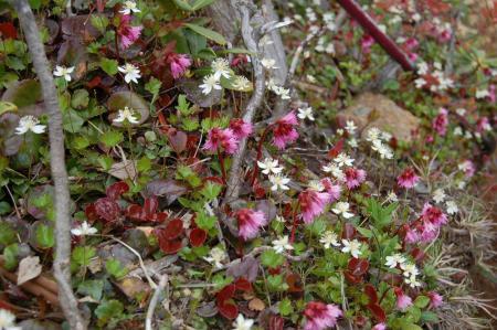 鋸岳直下のお花畑2-28