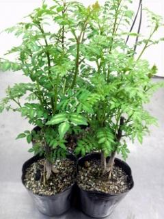 木の芽 ポット05
