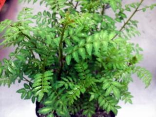 木の芽 ポット03