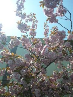 110527桜