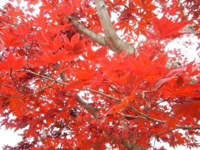 生家の紅葉