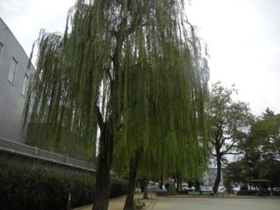 柳の木の下での散歩