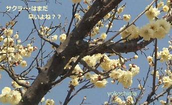 梅か桜か?