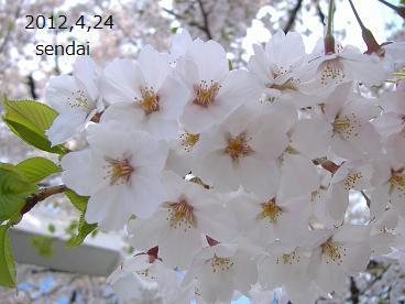 2012さくら3