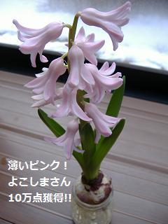 20130207 ヒヤ開花