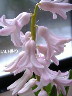 20130207 ヒヤ開花2