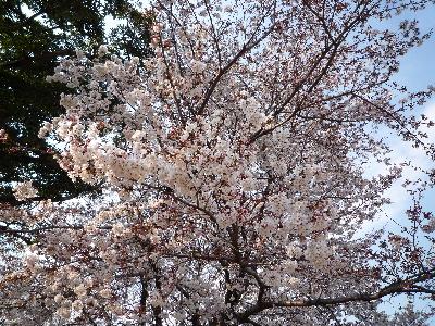 後楽園外苑の桜