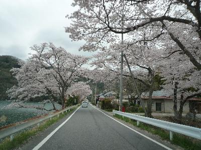 1桜並木(1)