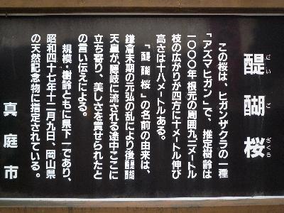1醍醐桜とは・・・(1)