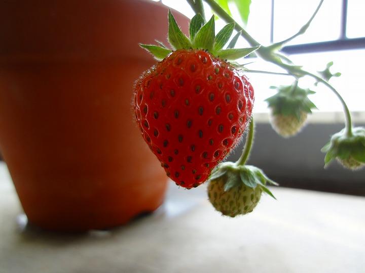イチゴ実01