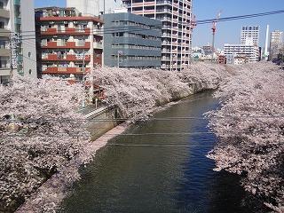 目黒桜01