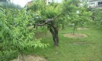 H230607小梅収穫