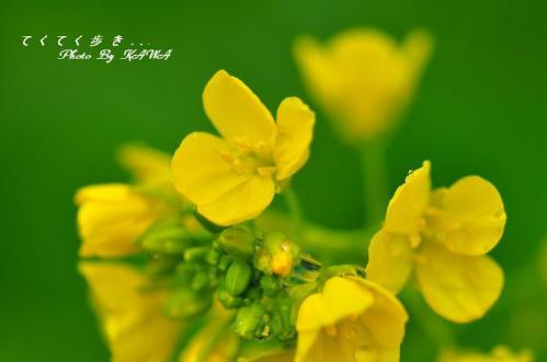 6双海菜の花12.02.06