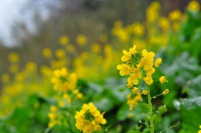 7双海菜の花
