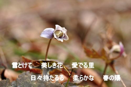 6ユキワリイチゲ12.02.26
