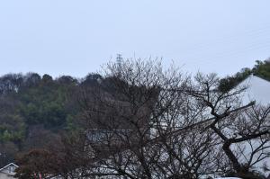 4十六日桜12.03.08