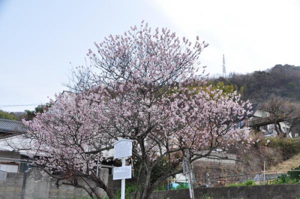1十六日桜2012.03.20
