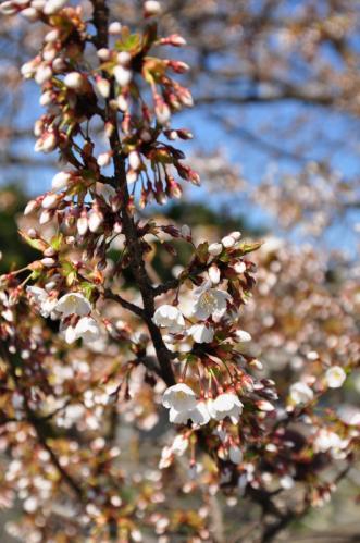 10一樹桜12.03.31