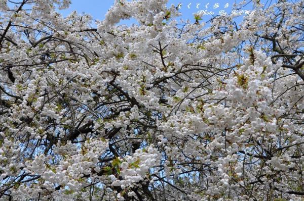 1うば桜12.03.31