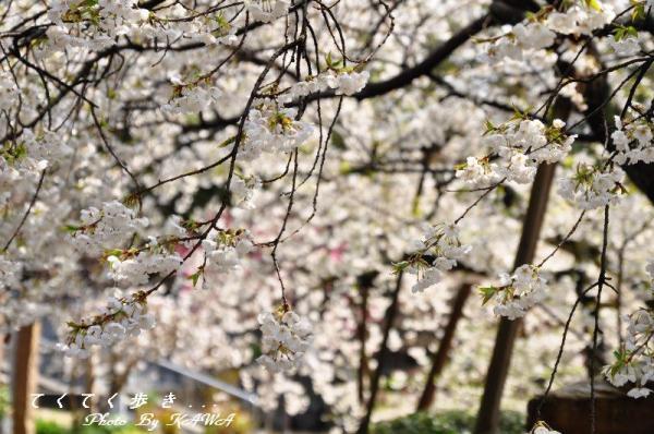 3うば桜12.03.31
