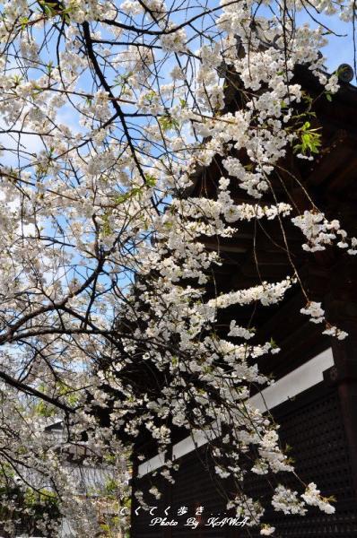 4うば桜12.03.31