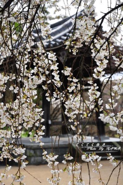 5うば桜12.03.31