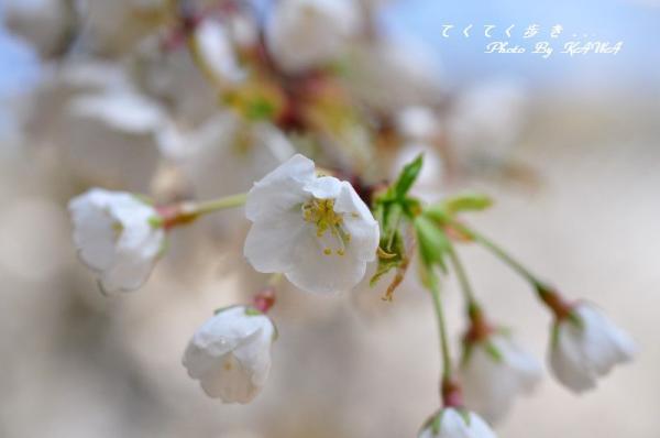 6うば桜12.03.31