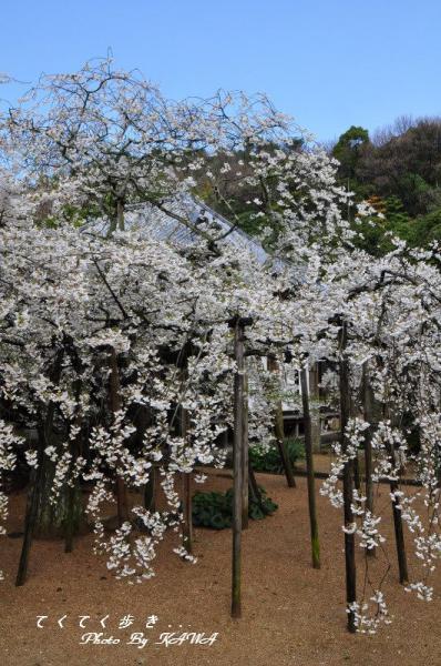 7うば桜12.03.31