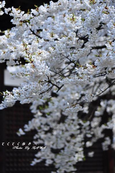 8うば桜12.03.31