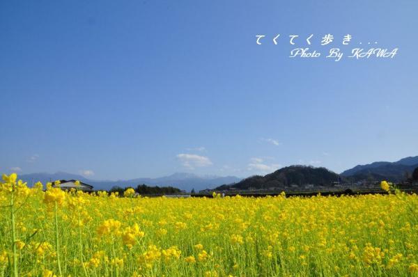 7菜の花12.03.31